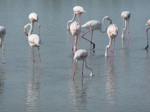 Flamingoes in the Camargue and outstanding area of wildlife in Languedoc, near to Villa Roquette the excellent B&B in the South of France