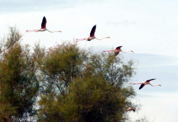flamingoes in the camargue near Villa Roquette Languedoc in the South of France