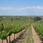 Vineyards surrounding Villa Roquette in Montblanc France an excellent B&B in the center of Languedoc