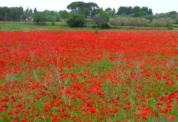 poppy field near Pezenas in Languedoc close to Villa Roquette